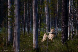 wolf-in-a-forest.jpg